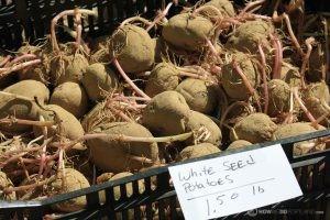 Seed Potatoes: We like Growing Potatoes in Maine!