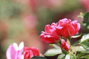 Deering Oaks Rose Garden