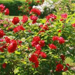 Deering Oaks Rose Garden: in full bloom