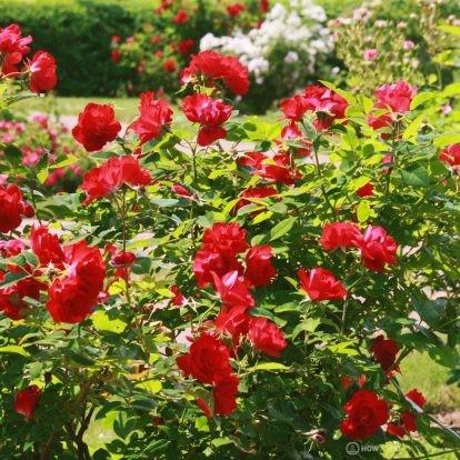 Deering Oaks Rose Garden: in full bloom