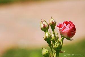 Deering Oaks Rose Garden: Pink Buds