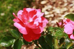Deering Oaks Rose Garden: Pink & Delicate