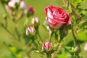 Deering Oaks Rose Garden: Pink Ombré Clusters