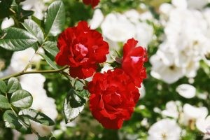 Deering Oaks Rose Garden: Red & white