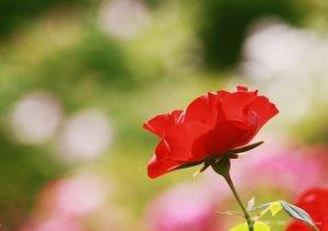 Deering Oaks Rose Garden: Silhouette