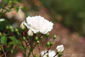 Deering Oaks Rose Garden: White