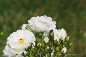 Deering Oaks Rose Garden: White Cluster