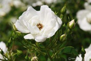 Deering Oaks Rose Garden: White & Delicate