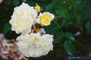 Deering Oaks Rose Garden: Yellow