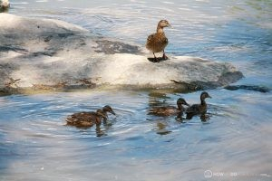 Duck & ducklings on Presumscot River