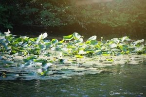 Stroudwater Trail: Lilly Pads