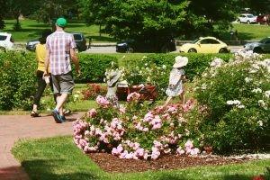 Wandering Deering Oaks Rose Garden